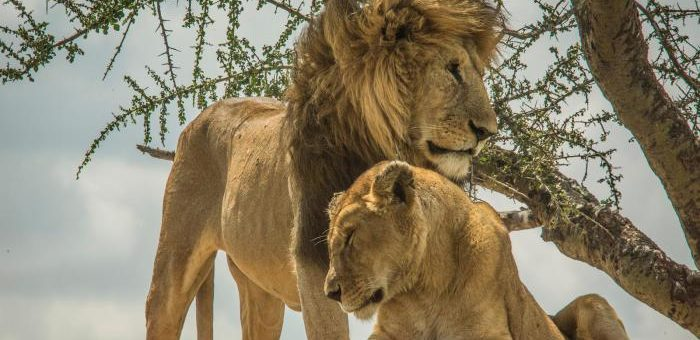 Herdsmen Kill 6 Lions, 74 Endangered Vultures in Tanzania